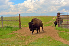 American Bison Buffalo at an Open Fence Gate Stock Images