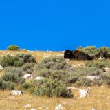 An American Bison rests atop a hill in Antelope Island State Park in Utah stock photos