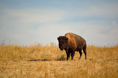 American Bison Buffalo on an Urban Wildlife Preserve Stock Photos