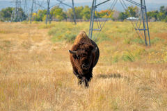 American Bison Buffalo on an Urban Wildlife Preserve Stock Image