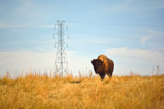 American Bison Buffalo on an Urban Wildlife Preserve Royalty Free Stock Image