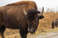 American bison buffalo in a wildlife refuge Royalty Free Stock Image