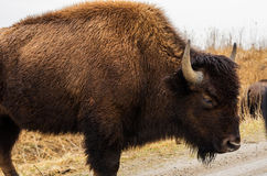 American bison buffalo in a wildlife refuge Royalty Free Stock Photo