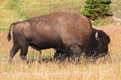 American Bison (Buffalo) Royalty Free Stock Images