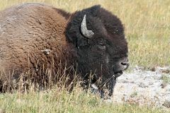 American Bison (Buffalo) Royalty Free Stock Photography