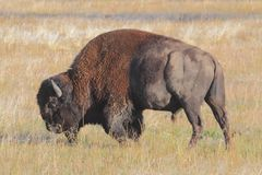 American Bison Buffalo Stock Images