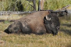 American Bison Buffalo. In in Yellowstone National Park Stock Image
