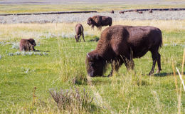 American bison buffalo in Yellowstone national park,grazing.USA. Bison's family walking , grazing in big  field in Yellowstone National park,USA. Buffalo Stock Photography