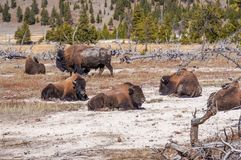 American Bison Buffalo in Yellowstone National Park, Wyoming stock images