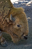 American bison buffalo in the zoo Royalty Free Stock Photography