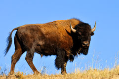 American Bison bull (buffalo) Stock Photo