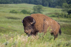 American bison bull Stock Photo