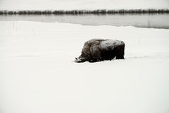 American Bison Bull Royalty Free Stock Images