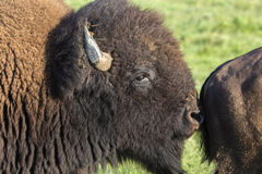 American bison bull sniffing cow Royalty Free Stock Photography