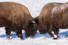 American Bison Bulls Butting Heads in the Snow. Two Bison Sparring in the Snow on the Colorado Plains Stock Photos