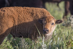 American bison calf Royalty Free Stock Image