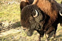 American Bison in Canada Stock Photos