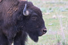 American Bison Close Study Stock Photo