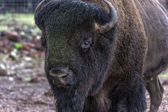 American Bison Close Up Royalty Free Stock Photography
