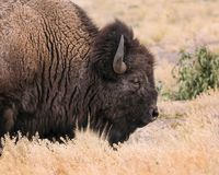 American Bison close up of head. Bison have massive heads and they rarely raise them up out of the grass Grand Teton National Park, Wyoming, USA royalty free stock photography