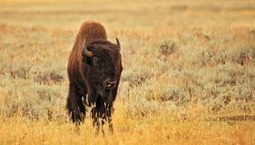 American Bison. Close up photo of an American Bison in Yellowstone National Park Stock Photography
