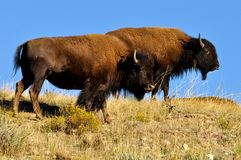 American Bison couple in the wild Royalty Free Stock Photo
