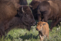 American bison cow and calf Stock Images