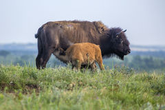 American bison cow and suckling calf Royalty Free Stock Images