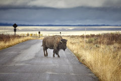 American bison crossing road in Grand Teton National Park, Wyomi Stock Image