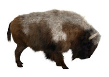 American Bison. 3D digital render of an American bison isolated on white background Royalty Free Stock Image