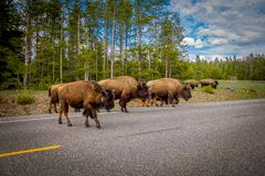Free American Bison Family Cross A Road In Grand Teton National Park, Wyoming Royalty Free Stock Photos - 118282668