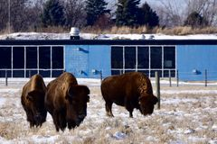 American Bison at Fermi Lab Royalty Free Stock Photography