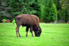 American Bison on a field Royalty Free Stock Photography