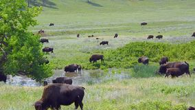 American Bison stock video footage