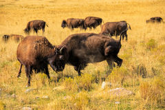 American Bison fight Royalty Free Stock Image
