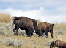 American Bison fighting. American Bison or Buffalo (Bison bison) head one another in Yellowstone National Park during the fall rut royalty free stock images