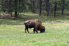 American Bison on grassland, Custer State Park, South Dakota, USA. American Bull Bison on grassland, Custer State Park, South Dakota, USA Royalty Free Stock Image