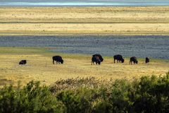 American Bison graze near the mountains on Antelope Island State Park in Utah stock image