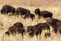 American Bison graze in tall grasses on Antelope Island State Park in Utah stock image