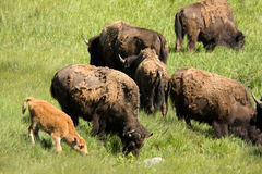 American Bison grazing with calf Royalty Free Stock Image