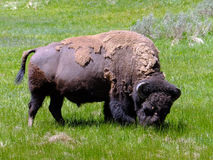 American Bison. Bison grazing in a field of grass in the Lamar Valley at Yellowstone National Park, Wyoming, USA royalty free stock images