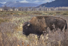 American bison grazing in the Grand Teton National Park, Wyoming Stock Photos