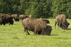 American bison grazing stock photos