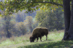 American Bison Grazing Stock Photo