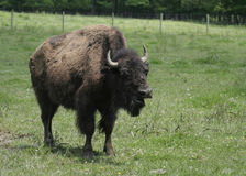 American Bison on Green Grass Royalty Free Stock Photo