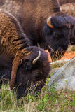 American Bison. A group of bison are grazing near this rock Stock Photo