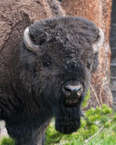 American Bison Head Shot Stock Image