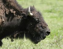American Bison Head Shot. Captured in Indiana royalty free stock image