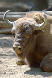 American Bison head. Vertical Stock Photography