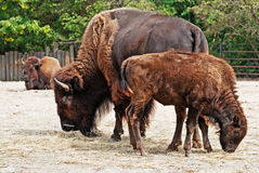 American Bison herd Stock Images